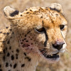 Momma Cheetah has cheeks and whiskers covered with antelope blood.