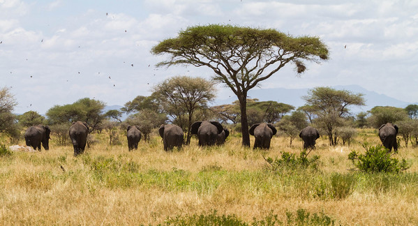 Tarangire is home to thousands of elephants, and we saw hundreds of them, near and far.