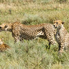 Three cheetah brothers surveying around them