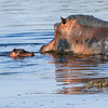 This baby hippo was born just a few days before (baby on the left)