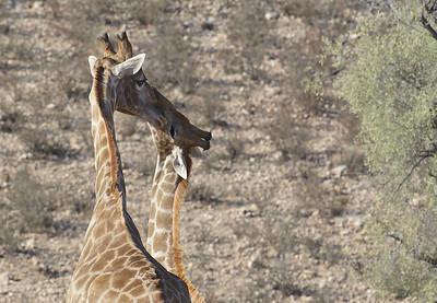 Giraffe nuzzle, Kgaligadi Transfrontier Park, South Africa