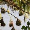 Weaver bird and nests