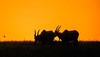 Hartebeest at sunrise.