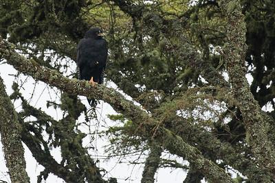Zone tailed Hawk