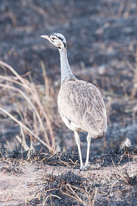 White Bellied Bustard;