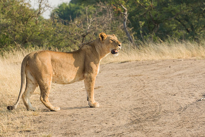Lion on the Serengeti