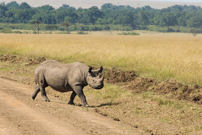 Black Rhino in Kenya