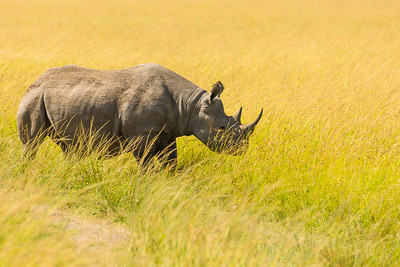 Black Rhino;