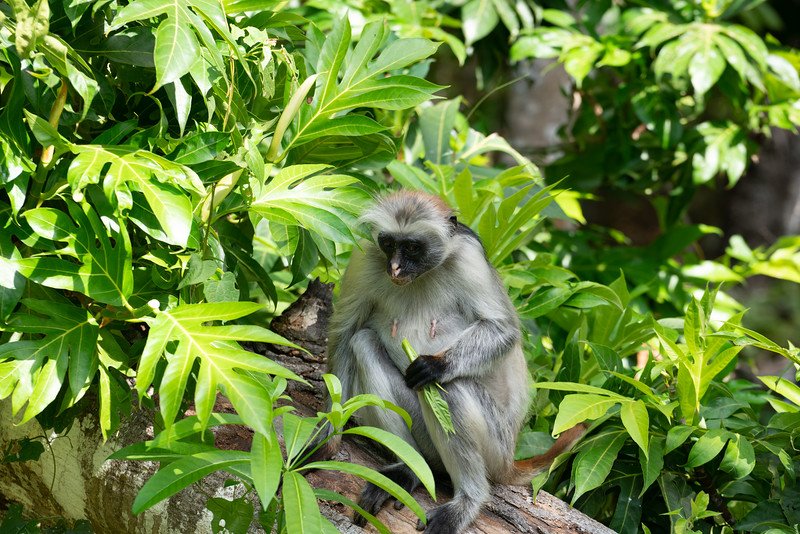 Female Colobus monkey