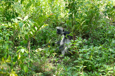 Alert male Colobus monkey