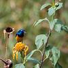 A Sunbird at Virungu Lodge.