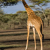 A giraffe, grazing on an acacia tree.