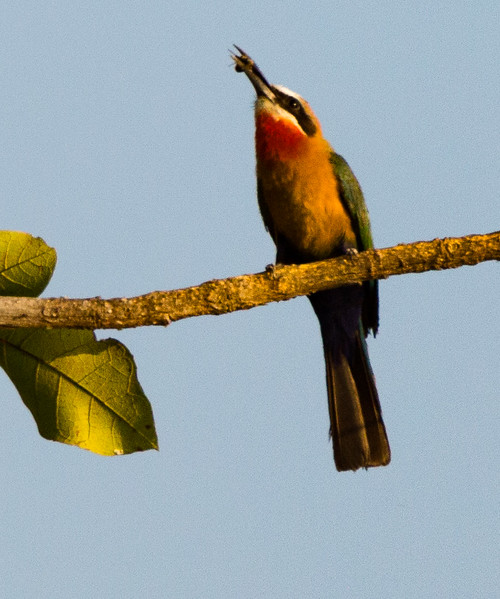 White-Fronted Bee-Eater witn bee