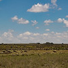Wildebeest on the Serengeti. Gathering for the migration.