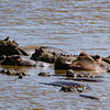Hippos in the hippo pond, near Lake Manyara. There are several oxpeckers on the hippos.