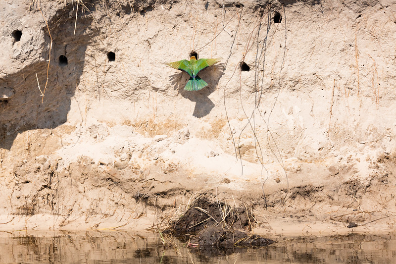 Bee-Eater entering nest along the river bank