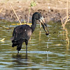 Open-Billed Stork with snail