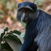 A blue monkey.