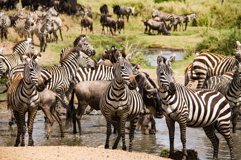 Zebras at the Serengeti water hole.