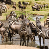 Zebras at the Serengeti water hole.