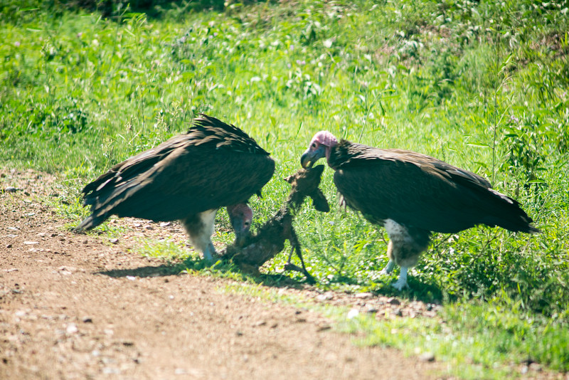 Vultures having a snack