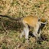 A vervet monkey.