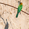 Bee-Eater with blue dragonfly