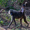 A baboon mother carries her baby in Lake Manyara National Park.