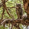 Spotted Eagle Owl at Plantation Lodge