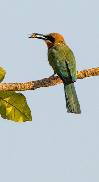White-Fronted Bee-Eater with bee