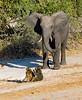 baboon-elephant confrontation