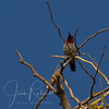 Scarlet-chested Sunbird (Zambia)