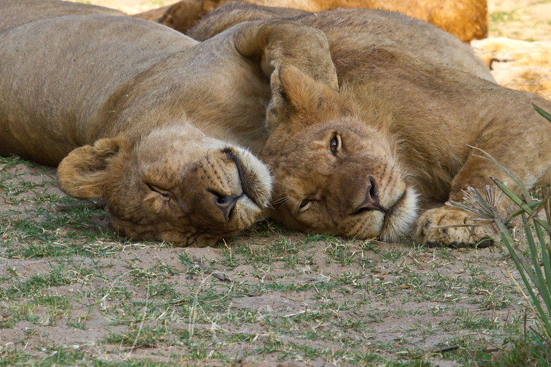 Lions typical activity, Zambia