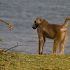 Baboon visitor