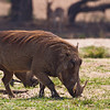 Another daily Warthog visit.