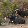 Water Buffalo along the Zambezi along with their Egret companions.