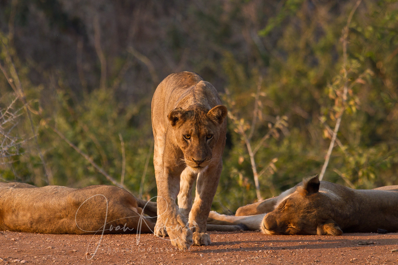 Approaching Lion, Zambia