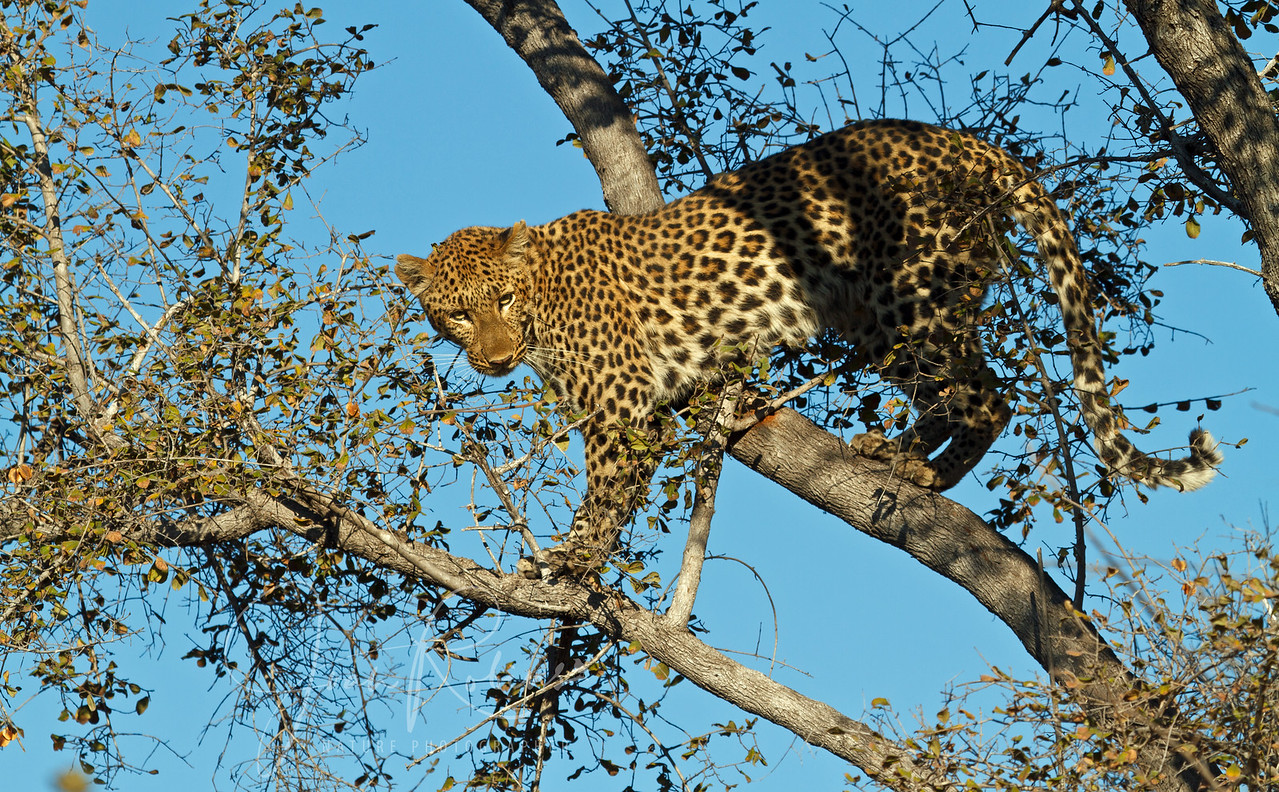 Leopard in a tree, chased there by  Wild Dogs. Botswana