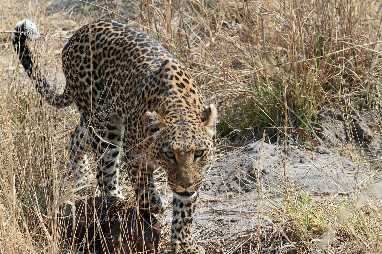 Leopard approaching the vehicle, a few feet from my knee, They are so accustomed our presence that they ignore us unless we stand up.  Botswana