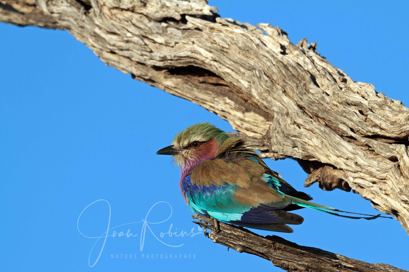 Lilac Breasted Roller, Botswana