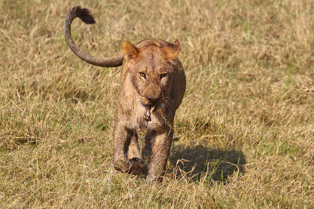 Young Lion with leftovers, Botswana
