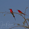 Carmine Bee Eaters, Zambia.