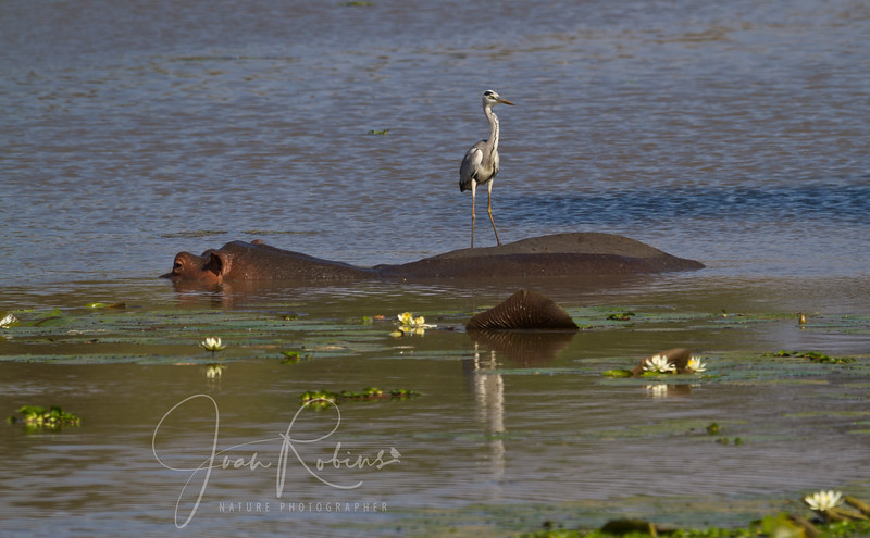 Egret hitching a ride on a hippo, Zambia