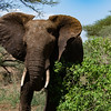 A large elephant, flapping his ears to keep flies off, and to keep cool.