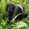 The Silverback.  He is big.  There are only about 800 mountain gorillas in the wild.  There are none in zoos.