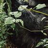 The Littlest Gorilla