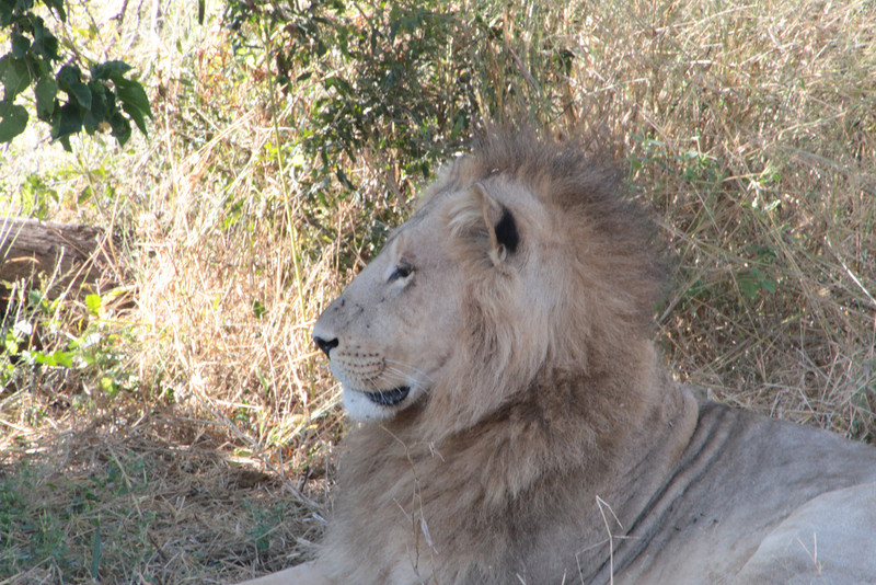 Our first male lion sighting.  He was a young male.