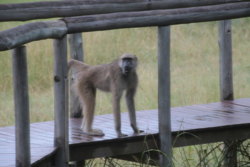 Baboon outside my tent