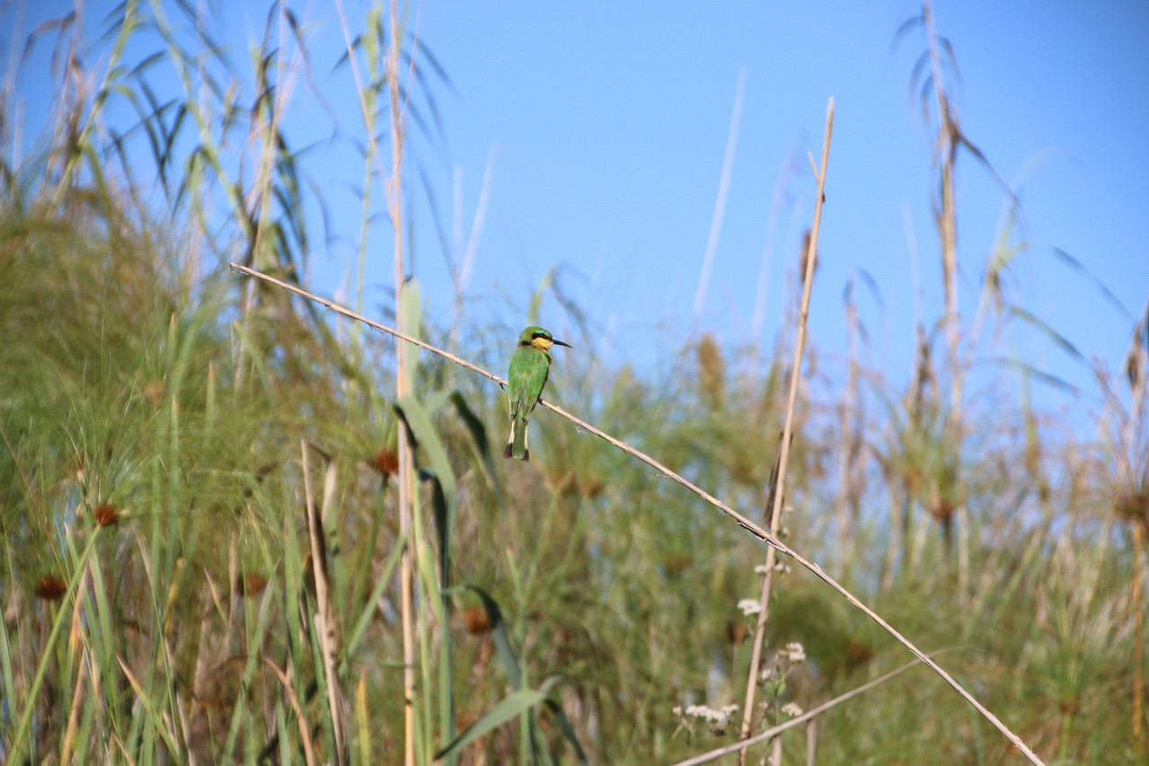 Common Bee Eater