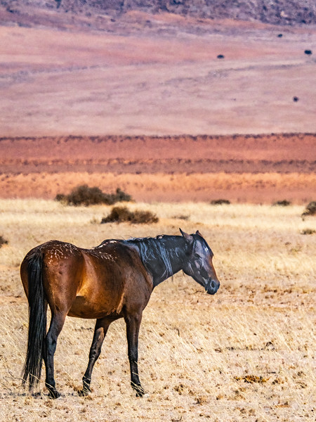 A member of a famous herd of wild horses that were once domesticated.  They were freed over 100 years ago and have adapted to life in the desert.